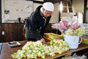 米国での販路拡大を図るシンビジウム。淡い色の花の需要は高い=徳島市国府町西黒田の近藤さん方