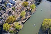 華やぐ春を演出する桜とシダレヤナギ/江川・鴨島公園【動画】