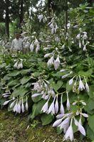 薄紫の花を風に揺らすギボウシ=東みよし町東山の二本栗キャンプ村