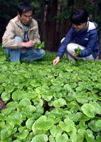 マイクロ葉わさびの収穫に追われる生産者=上勝町生実
