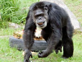 最高齢のチンパンジー死ぬ、神戸