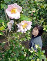 薄いピンク色の花を咲かせたツバキ=阿南市椿町瀬井の椿自然園