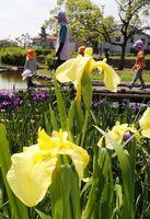 咲き始めたハナショウブ=徳島市下助任町の助任緑地