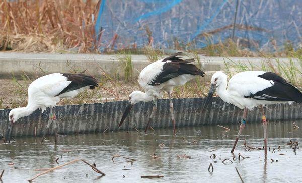 兵庫、島根各県から飛来し、餌をついばむコウノトリ=31日、鳴門市大麻町