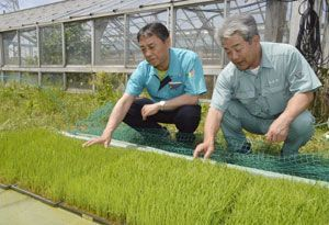大阪市の中心部での田植えに使われる稲の苗=小松島市豊浦町