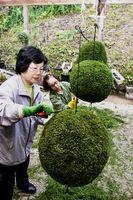 杉玉の刈り込みに打ち込む参加者=神山町阿野の神山森林公園イルローザの森