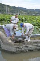 水路に仕掛けたミシシッピアカミミガメの捕獲用の籠を引き上げるレンコン農家ら=鳴門市大津町大幸