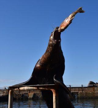 """【ちょい変わ動物】「鮭は飲み物」トドの""""丸飲みショー""""がSNSで話題、おたる水族館に聞く自由すぎる動物愛"""