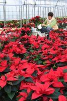 ポインセチアの出荷作業に追われる生産者。クリスマスシーズンの花として人気が高い=小松島市櫛渕町