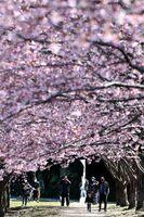 見頃を迎えた蜂須賀桜=徳島市の徳島中央公園