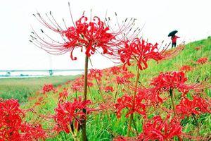 吉野川堤防沿いを赤く染めるヒガンバナ=徳島市住吉5