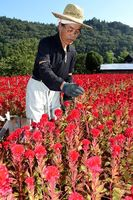 鮮やかな深紅の花をつけたケイトウを収穫する農家=那賀町延野