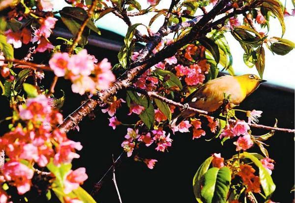 ヒマラヤザクラの木に止まるメジロ=徳島市昭和町8