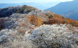霧氷が付いた木々と紅葉のコントラストが美しい高城山=31日午前7時半ごろ、美馬市、那賀町境(相原さん提供)