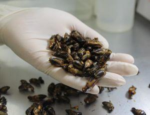 グリラスが生産している乾燥コオロギ(同社提供)