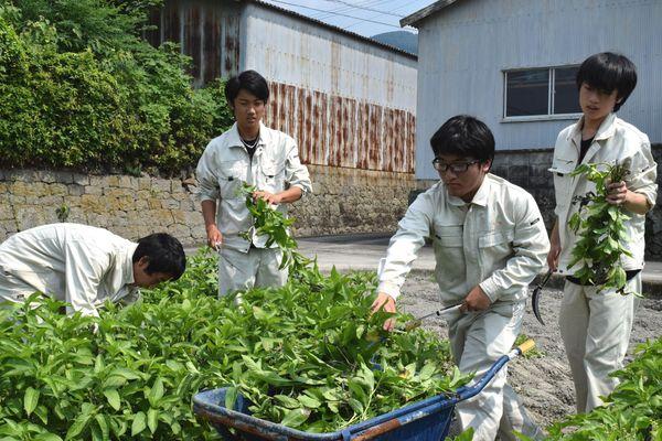 藍の葉を収穫する阿南工業高生=美馬市穴吹町三島