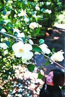 白い花を咲かせたツバキ=阿南市椿町瀬井
