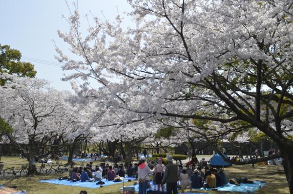 満開の桜の下で花見を楽しむ人たち=2018年3月、徳島市の徳島中央公園