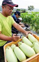 収穫が最盛期を迎えている白ナス「GOTTSO美~ナス」=阿波市阿波町山王