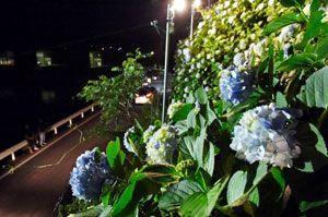 ライトアップされたアジサイ=那賀町鉢の川口ダム湖南岸
