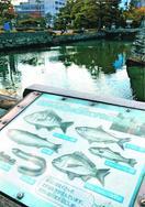 海水魚、お堀で悠然 徳島中央公園 助任川から流入?