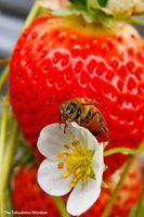 イチゴの周りを忙しそうに飛び回り花粉を運ぶミツバチ=松茂町広島のイチゴ農園
