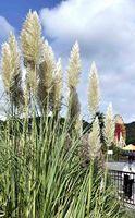 秋の気配を漂わせるパンパスグラス=徳島市渋野町
