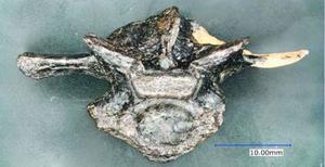 新たに見つかったワニの背骨の化石(徳島県立博物館提供)