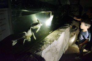 夜のウミガメの様子を見る来館者=美波町日和佐浦の日和佐うみがめ博物館カレッタ