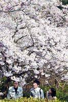 新種認定を申請中の「勝浦雛桜」=26日、勝浦町三渓