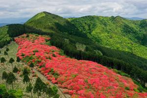 新緑を彩るオンツツジ=吉野川市山川町奥野井の船窪つつじ公園※特別な許可を得て撮影しています