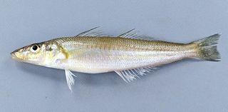 シロギス 海の貴婦人 初夏が旬【ぼうずコンニャクのうますぎる徳島の魚】38