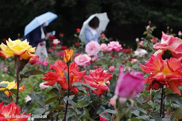 雨の中、色鮮やかに咲くバラ=徳島中央公園