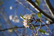 美波で季節外れの桜