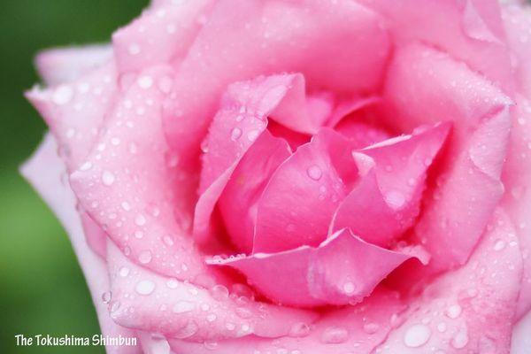 雨にぬれたバラ