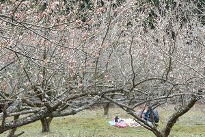 明谷梅林で八分咲きとなっている梅の花。梅の下でピクニックを楽しむ家族連れもいた=阿南市長生町