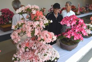 華やかなサツキの盆栽に見入る来場者=板野町文化の館