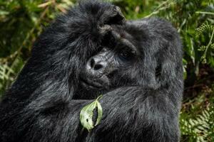 ウガンダ南西部の国立公園で、葉を食べるシルバーバック=3日(AP=共同)