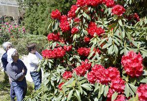 赤や白の花が見頃を迎えたシャクナゲ園「ローディーの森」=つるぎ町一宇蔭