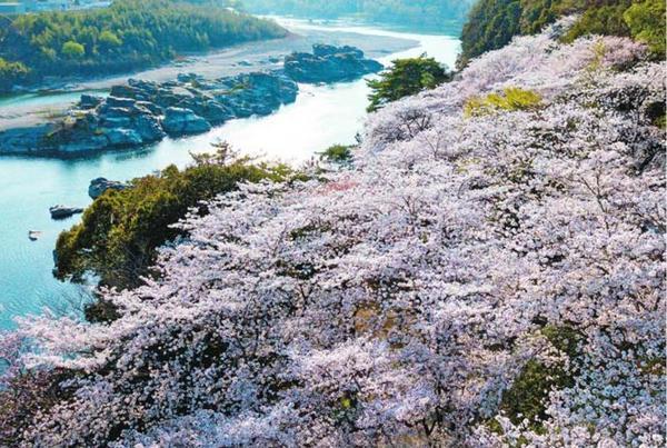 満開のソメイヨシノが覆う美濃田の淵の並木=2018年3月29日、東みよし町足代