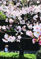例年より早く咲き始めたソメイヨシノ。お遍路さんに春の訪れを告げている=神山町阿野