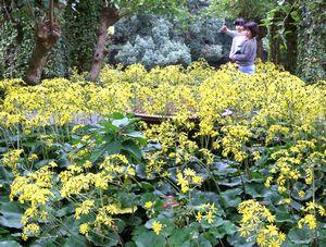 鮮やかな黄色い花を咲かせたツワブキ=徳島中央公園