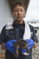 レンコン畑で捕獲されたカミツキガメ=鳴門市大津町のJA大津松茂