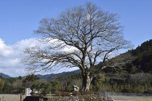 アート作品が展示される「笹見のムクノキ」=牟岐町河内