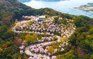 圧巻のしだれ桜450本と豪華花見弁当、天然温泉など…
