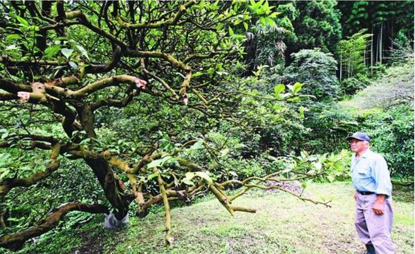 樹勢が衰え、葉が少なくなったスダチの古木を見守る所有者の橋本さん=7月、神山町鬼籠野