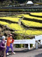 見頃を迎えた菜の花を楽しむウオーキング大会の参加者=神山町上分の江田集落