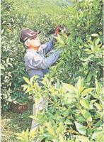 スダチの摘葉作業をする生産農家=神山町阿野