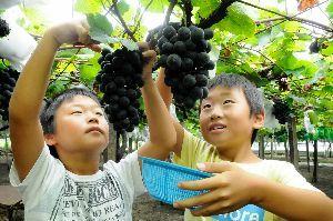 ブドウ狩りを楽しむ児童=吉野川市川島町学