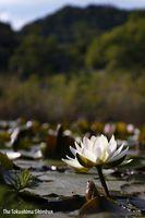 池の水面を彩り始めたスイレン=鳴門市大麻町のドイツ村公園